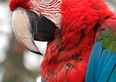 GUACAMAYO AZUL Y VERDE