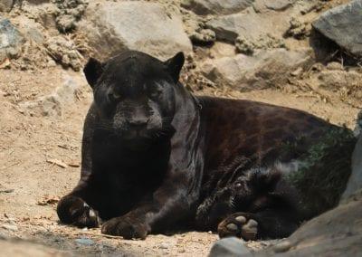Jaguar melánico