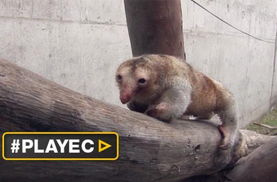 Osos hormigueros pigmeos están en Zoo Huachipa