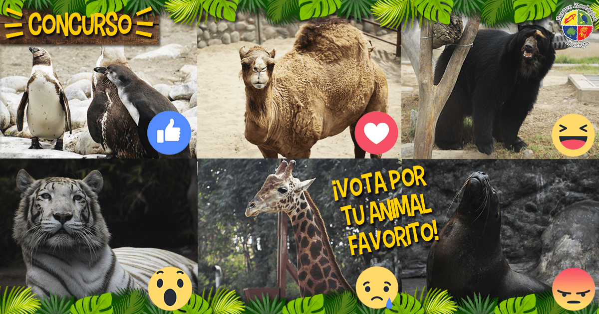 La jirafa 'Rubén' y la tigresa 'Civa' compiten por la 'Garra de Oro' del Zoo Huachipa