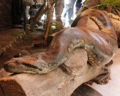 Anaconda de casi 7 metros puede ser vista en el Zoo Huachipa