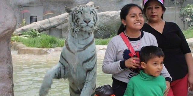 Tigresa blanca 'Civa' es el animal favorito y ganó el premio 'Garra de oro'