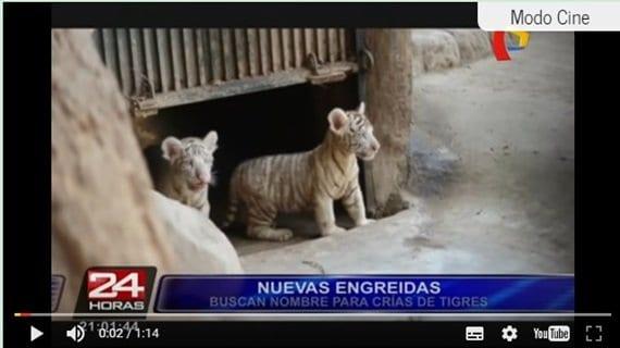 Buscan nombres para crías de tigres