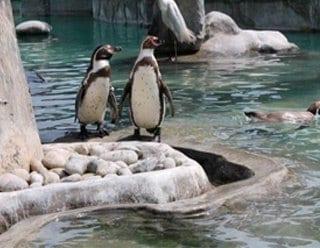 Simpáticos pingüinos divierten con sus piruetas