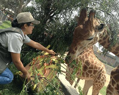 El cumpleaños de las jirafas de Huachipa